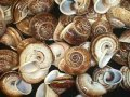 SS643 Brown Mountain Snail Shells 2""