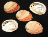 SS706N Natural Red Abalone Shells 3 inch