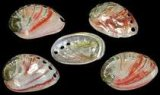 "SS706P Polished Red Abalone Shells 3""+"