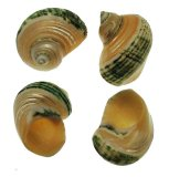 SS106F Banded Green Turbo Silvermouth Shells 2""