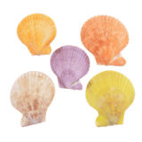 SS161 Coloured Pecten Nobilus Shell Halves 2 - 3""