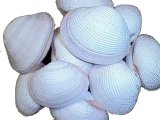 SS234 Fimbriata Clam Shell Pairs  2 - 3""