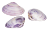 SS236B Polished Purple Clam Shell Pairs 1.5""