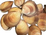 SS261 Trachycardium Clam Shell Pairs 3""