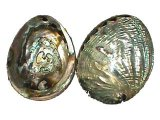 SS629A Polished Green Abalone Shells 4+""
